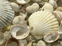 Nature Collection - Even More Shells - Digital