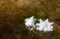 Nature - Water Flowers - Canon Rebel Xti