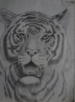Pencil Drawing - Tiger - Pencil And Paper
