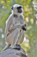 Langur - Digital Photography - By Buro Lsk, Naturalist Photography Artist
