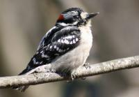 Bird Photography - Young Male Downey Woodpecker - 8 12 X 11 Archival Matte