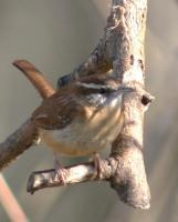 Carolina Wren - Digital Slr Photography - By Donna Kennedy, Nature  Birds Photography Artist