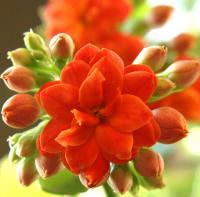 Kalanchoe - Digital Slr Photography - By Donna Kennedy, Nature Floral Photography Artist
