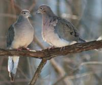 Dove Love - Digital Slr Photography - By Donna Kennedy, Nature  Birds Photography Artist