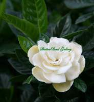 Gardenia - 8 12 X 11 Archival Matte Photography - By Donna Kennedy, Digital Slr Photography Photography Artist