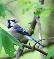 Bird Photography - Summer Blue Jay - 8 12 X 11 Archival Matte