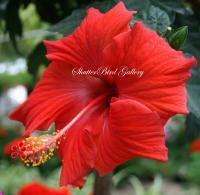 Floral Photography - Red Hibiscus - 8 12 X 11 Archival Matte