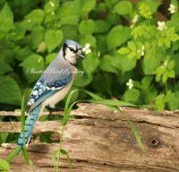 Bird Photography - Blue Jay - 8 12 X 11 Archival Matte