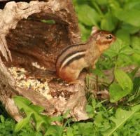 Chippy In The Log - Matte Photo Paper Photography - By Donna Kennedy, Digital Slr Photography Photography Artist
