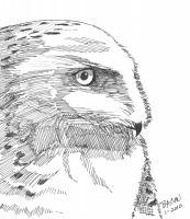 Wildlife Art - Immaturesnowy Owl - Marker