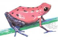 Wildlife Art - Red And Blue Poison Arrow Frog - Acrylicmarkerwhite-Out