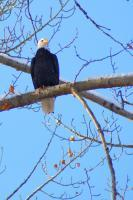 Bald Eagle On Watch - Photo Photography - By Ted Widen, Wildlife Photography Photography Artist