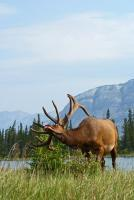 Wildlife - Elk With Itchy Antlers - Photo