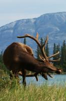 Wildlife - Elk With An Itch - Photo