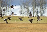 Wildlife - Flight From The Grain Field - Photo