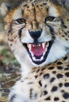 Cheetah With Attitude - Photo Photography - By Ted Widen, Wildlife Photography Photography Artist