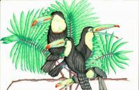 Tucan - Colored Pencil Drawings - By Michelle B Killman, Pencil Drawing Artist