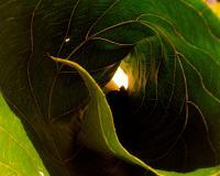 Photography - Curled Leaf - Photography