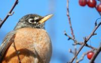 American Robin - Digital Photography - By Anna Kupis, Nature Photography Photography Artist
