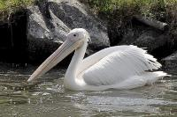 Pelican - Digital Photography - By Macsfield Images, Wildlife Photography Artist