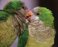 Budgies Kissing - Digital Photography - By Macsfield Images, Wildlife Photography Artist