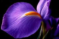 Iris - Digital Photography - By Macsfield Images, Flora Photography Artist