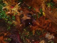 Nature Photography - Wet Autumn Leaves - Digital