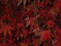 Nature Photography - Japanese Maple No 1 - Digital