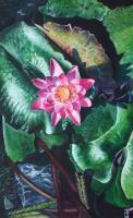 Pink Waterlily - Watercolour And Ink Paintings - By Julia Patience, Realism Painting Artist