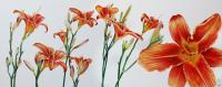 Flower Paintings - Orange Daylillies - Watercolour And Ink