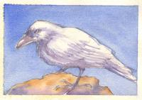 Watercolor - Study For White Crow - Watercolor