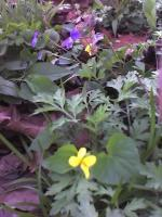 Wildflowers - Violets - Color Photography
