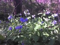 Wildflowers - Virginia Bluebells - Color Photography