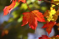 The Single Red Leaf - Digital Photography - By Eric Brownell, Nature Photography Artist