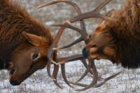 Bull Elk In The Rut - Digital Photography - By Jl Woody Wooden, Wildlife Photography Artist