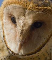 Birds Of Prey - Barn Owl Portrait - Digital