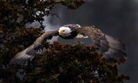 Birds Of Prey - Approaching Eagle - Digital
