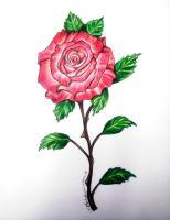 Flowers - The Gift Of A Rose - Pencil  Prisma Colored Pencils