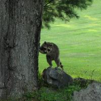 Juvenile Raccoon 001 - Photography Photography - By Pamela Phelps, Color Photography Photography Artist