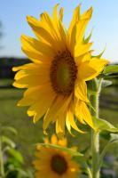 Photography - Sunflower Series 1 - Photography
