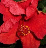Flowers - Hibiscus In Crimson - Digital Photography