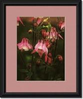 Sweet Columbine - Digital Photography Photography - By Pamela Phelps, Rustic Photography Artist