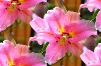 Floral - Lilies In My Garden - Photography