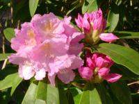 Rhodedendron - Photography Photography - By Keith Bond, Floral Photography Artist