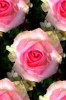Nature - Pink Roses - Photography