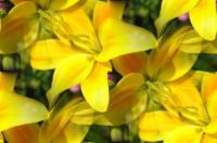 Floral - Yellow Lilies - Photography