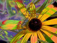 Bug Eyed Susan - Digital Photography - By Carol Miller, Abstract Photography Artist