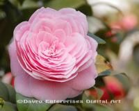Camellia1 - Digital Photography - By Carol Miller, Nature Photography Artist