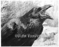 Screamin Raven - Graphite  Charcoal Drawings - By Dian Vandervolgen, Realism Drawing Artist