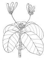 Fish-Plate Shrub - Guettarda Speciosa - Pen And Ink Drawings - By William Ivinson, Black And White Line Art Drawing Artist